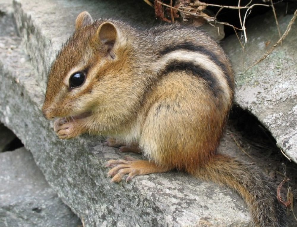 What's That Scratching Sound?: Squirrel, Rat, and Mice Infestations
